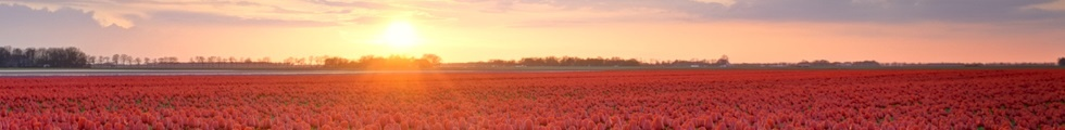 HDR landscape of a field of red tulips in Holland in spring during a sunset.